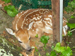 Deer Fawn Found on Memorial Day