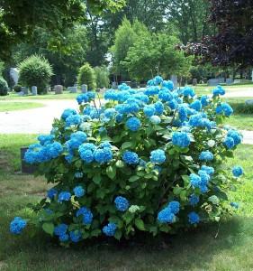 Vibrant Blue Hydrangea